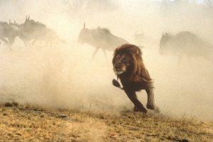 Lions à la chasse aux gnous, Réserve nationale du Maasaï Mara, Kenya © Y.Arthus-Bertrand